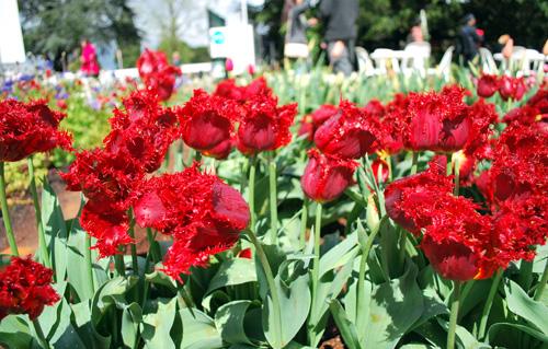 redthorn_tulips