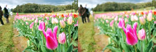 tulip_focus